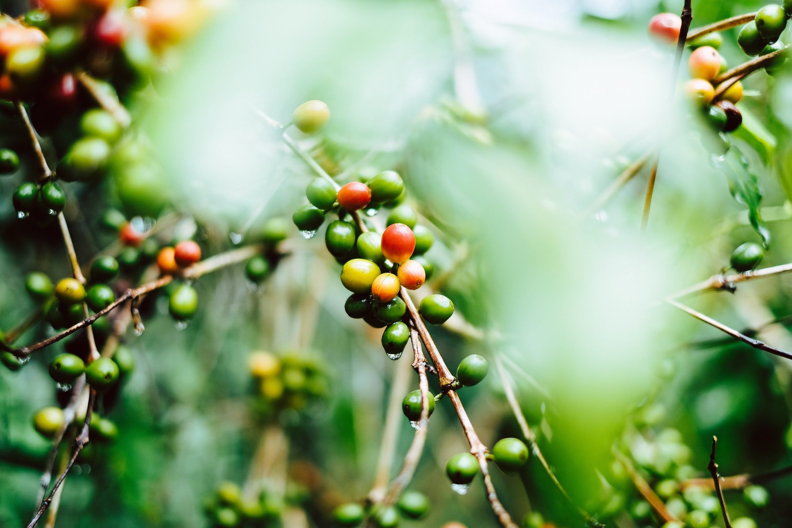 mùa hái cà phê